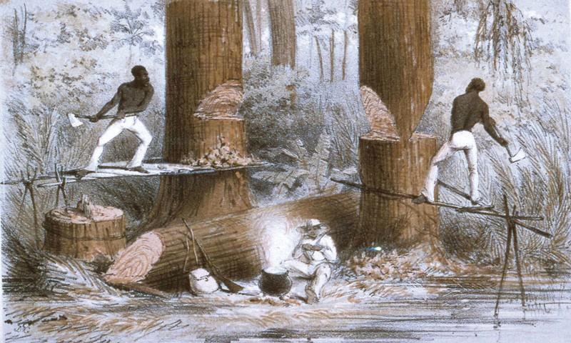 1850 metų, J. McGahey litografija vaizduojanti centrinėje Amerikoje kertamus raudonmedžius.
